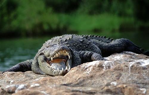 Крокодил напал на 3-летнего ребенка