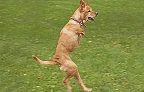 Двулапая собака стала сержантом американской армии